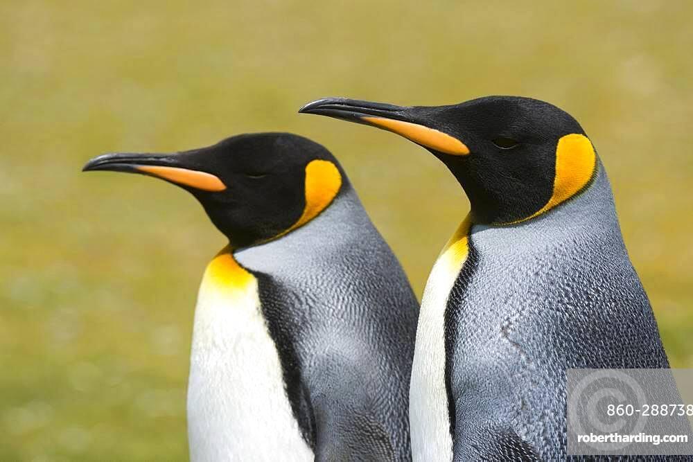 Portrait of two King penguins, Aptenodytes patagonica, Volunteer Point, Falkland Islands.