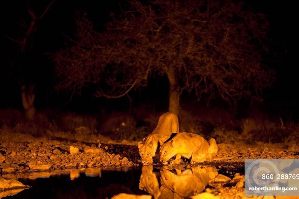 Lionesses (Panthera) drinking at night, Ongava Game Reserve, near Etosha National Park, Namibia.