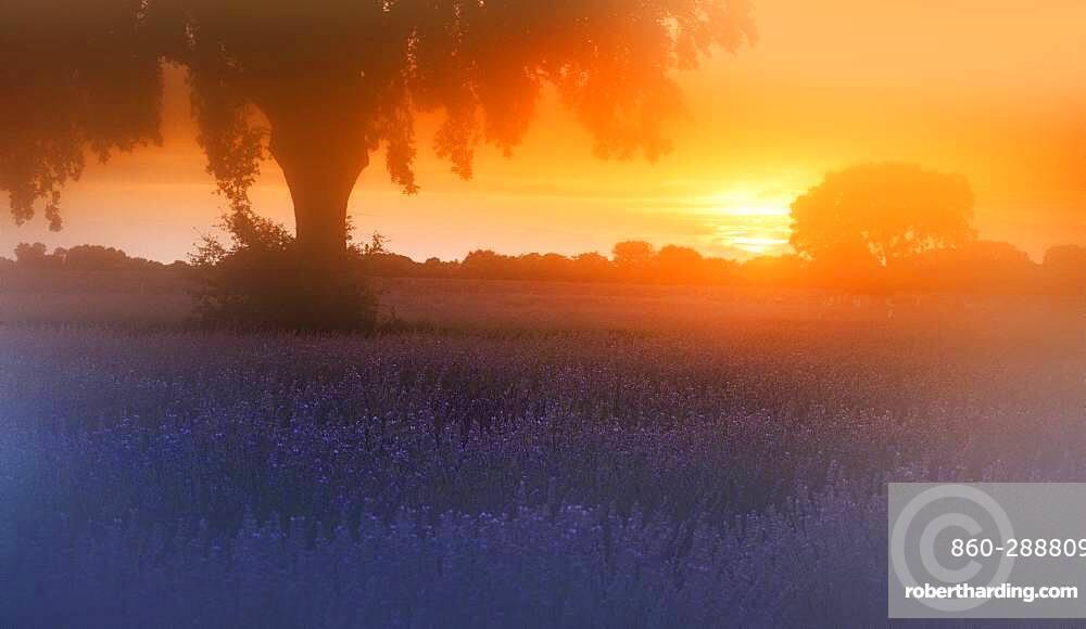 Lavender (Lavandula officinalis) fields with fog at sunrise, Brihuega, Spain