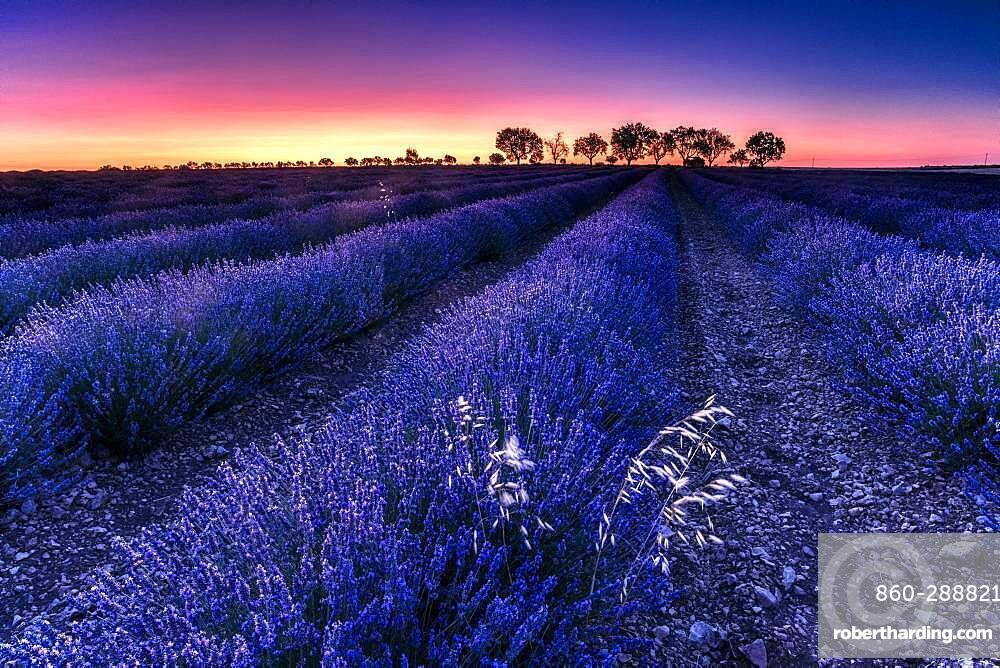 Lavender (Lavandula officinalis) fields at sunrise, Brihuega, Spain