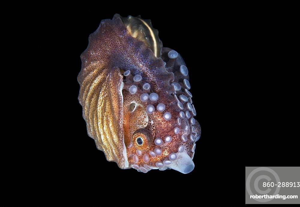 female Paper Nautilus, Argonauta species, photographed during a blackwater dive in 70 feet of water in Anilao, Philippines, Pacific Ocean.