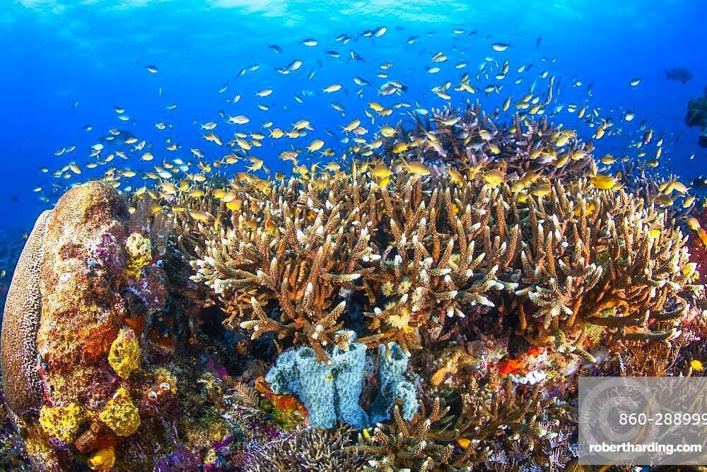 Staghorn Coral (Acropora sp) on reef, Raja Ampat, Indonesia