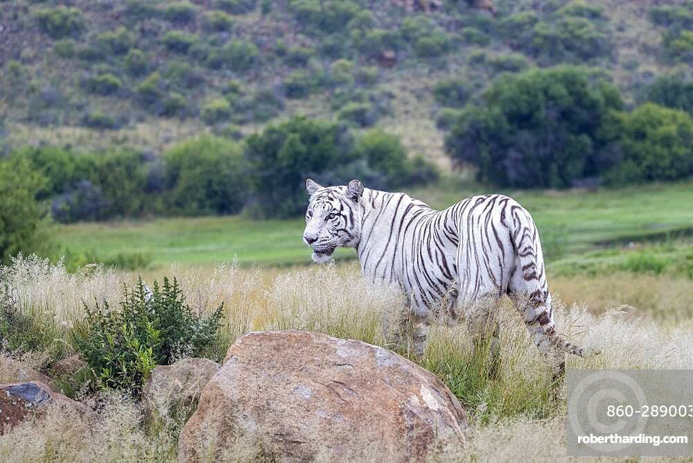 Asian (Bengal) Tiger (Panthera tigris tigris), White tiger, adult female, Private reserve, South Africa (Captive)