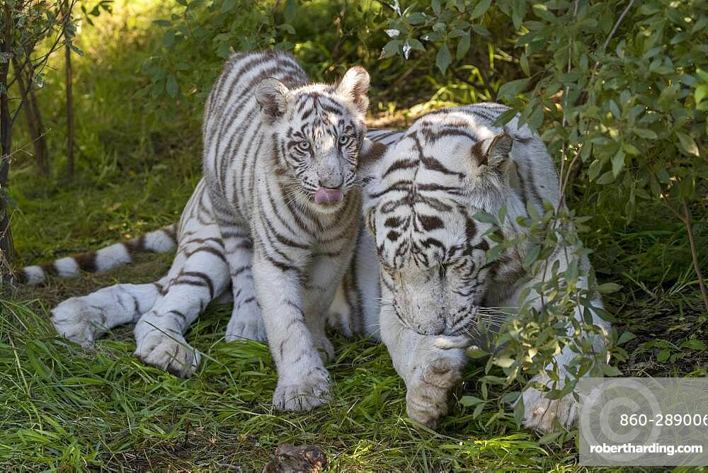 Asian (Bengal) Tiger (Panthera tigris tigris), White tiger, adult female with a white young 5 month old, Private reserve, South Africa