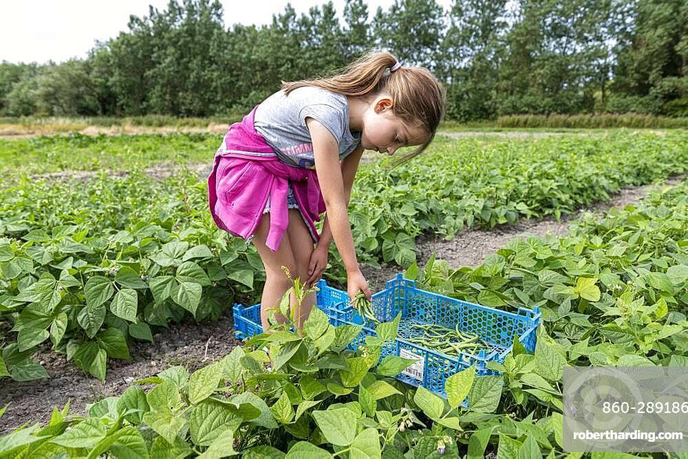 Girl harvesting green beans in a kitchen garden in summer