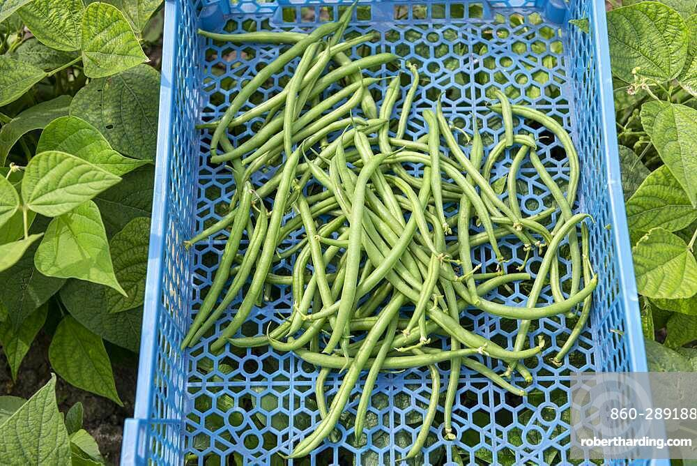 Harvest of green beans in a plastic crate in summer