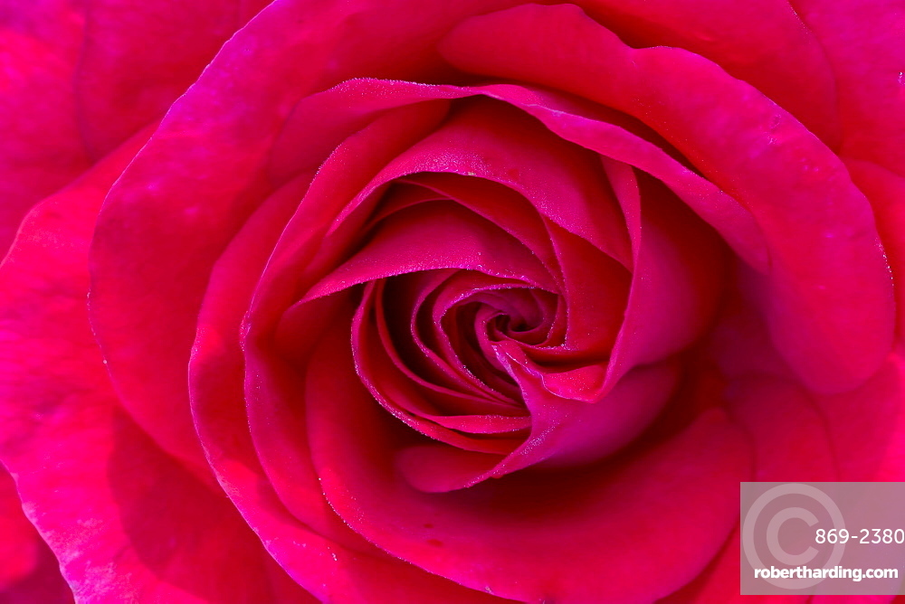 rose 'Hans Rathgeb' detail of red blossom rose garden Beutig Baden-Baden Baden-Wurttemberg Germany