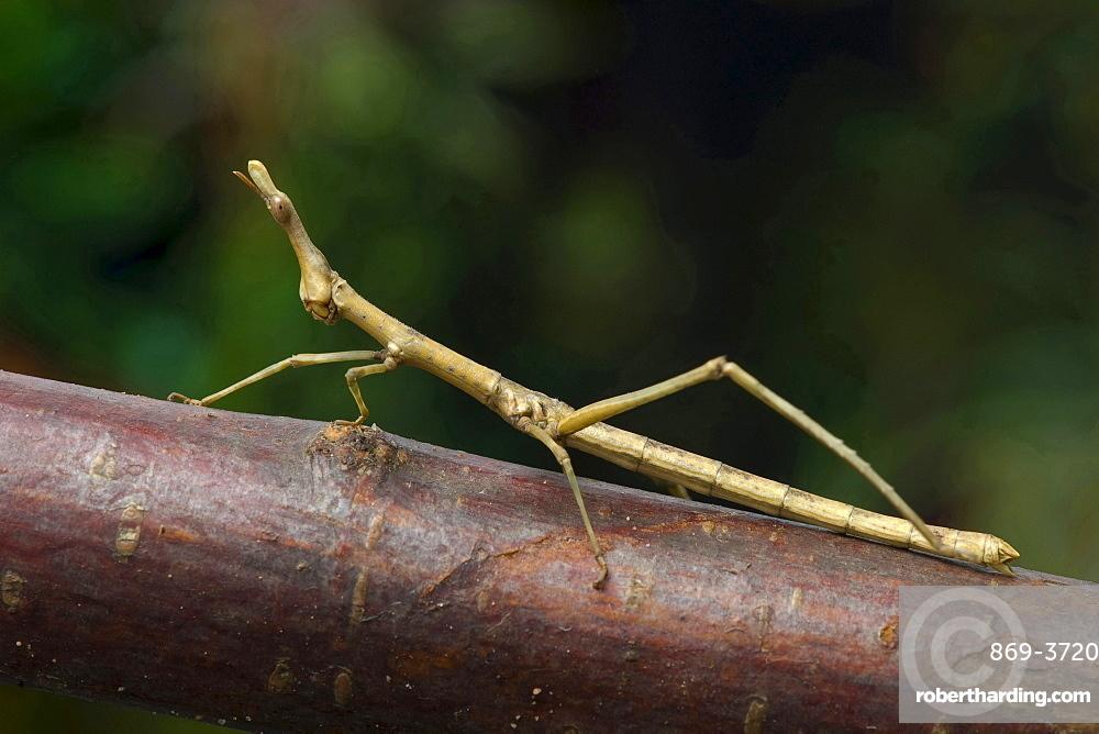 horsehead grasshopper horsehead grasshopper sitting on branch portrait