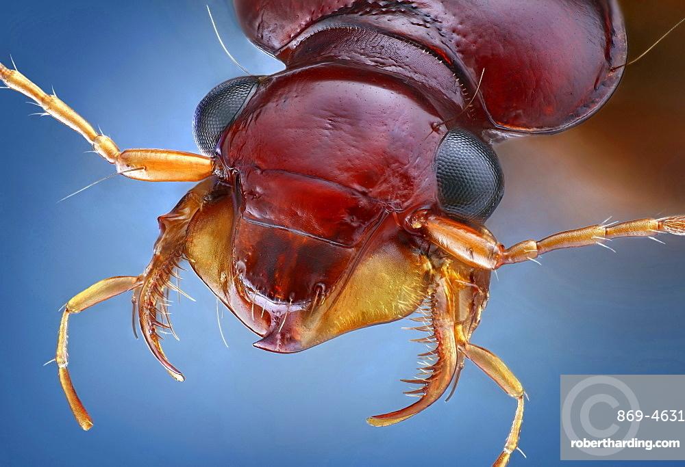 ground beetle portrait Germany Europe