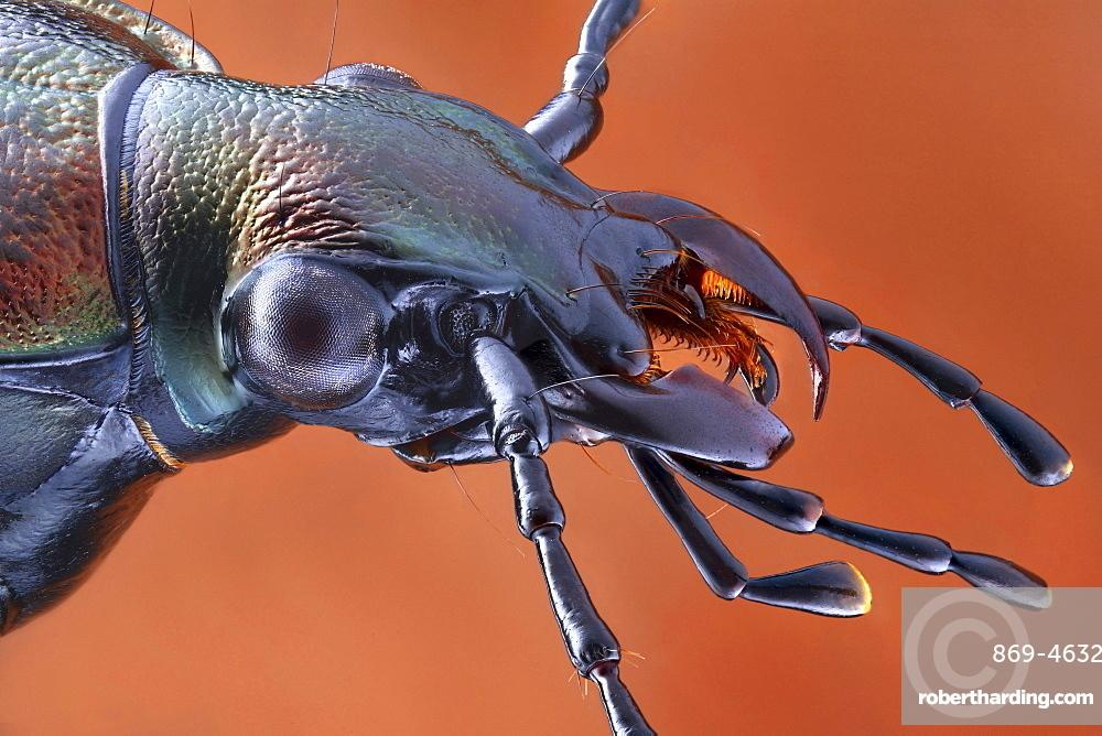 ground beetle portrait