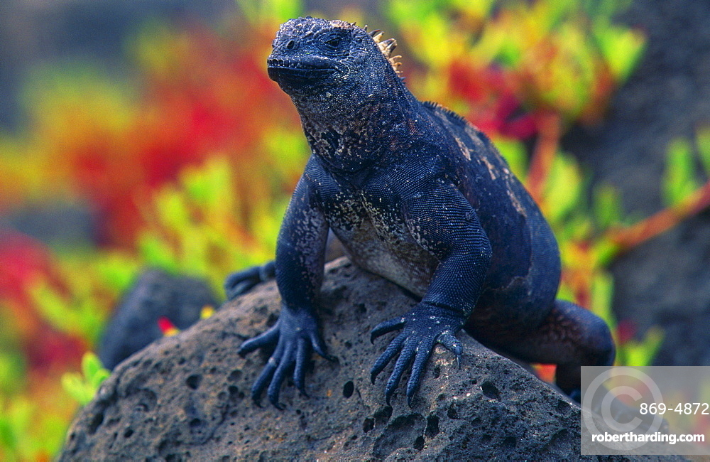 marine iguana lizard resting on dark porous lava rock propped up on front legs vegetation in background frontal view of one animal only outdoors horizontal format Galapagos Islands Ecuador South America Americas
