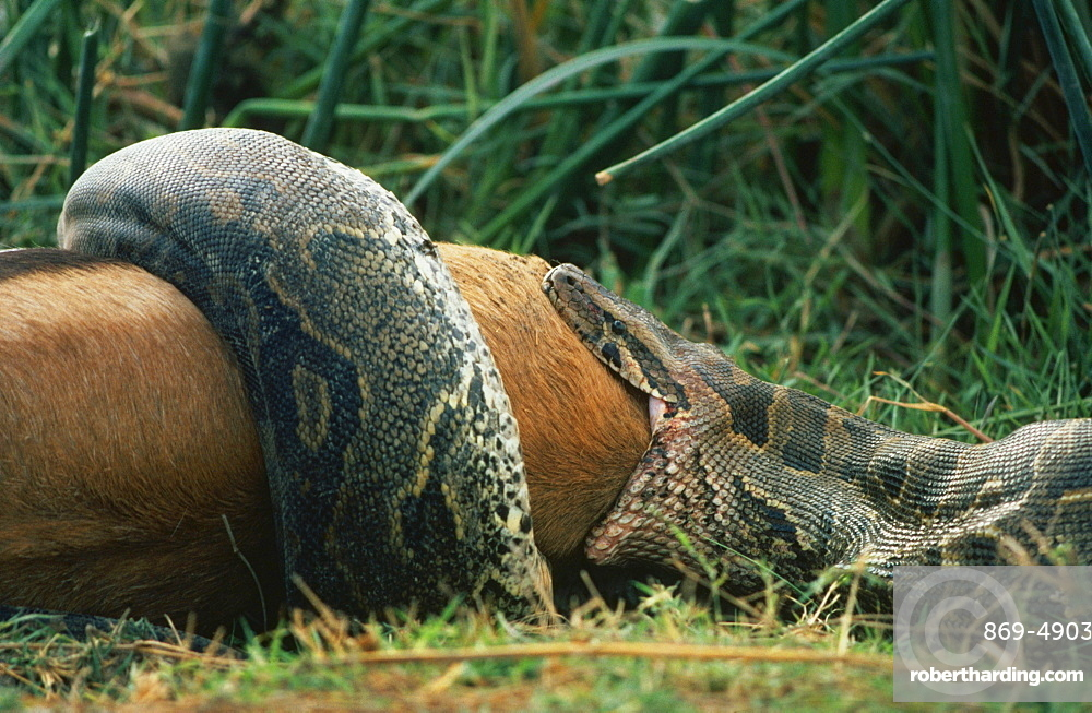rock python python feeding upon prey Thomson's gazelle Amboseli Kenya Afrika