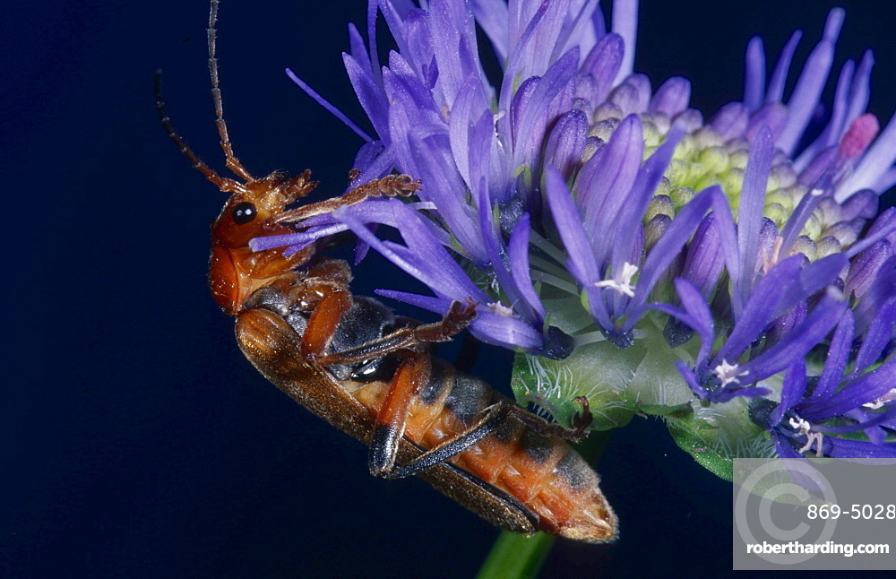 common red soldier beetle soldier beetle flower