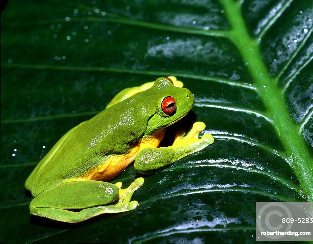orange-eyed tree frog or red-eyed tree frog red-eyed tree frog on leaf portrait (Agalychnis callidryas)