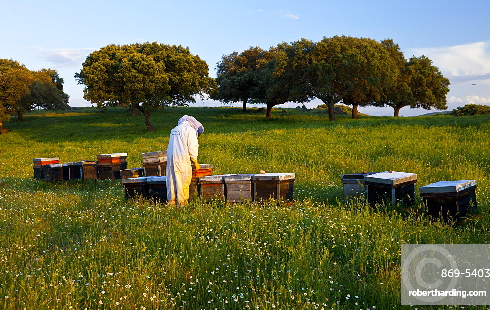 honey bee beekeeper in protective clothing working with honeycomb individual outdoors horizontal format Extremadura Spain Europe (Apis mellifera)