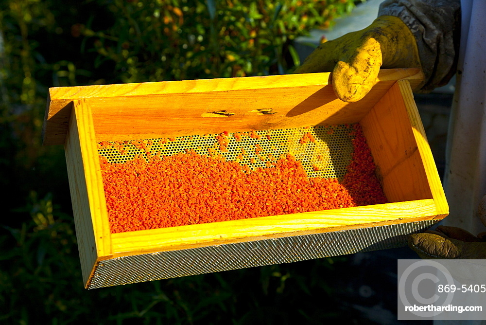 honey bee beekeeper with protective glove holding wax bees wax beeswax collected from honeycomb outdoors horizontal format Extremadura Spain Europe (Apis mellifera)