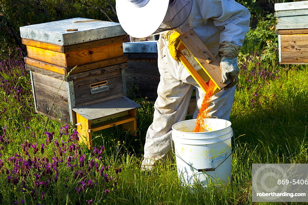honey bee beekeeper in protective clothing collecting wax bees wax beeswax from honeycomb individual outdoors horizontal format Extremadura Spain Europe (Apis mellifera)