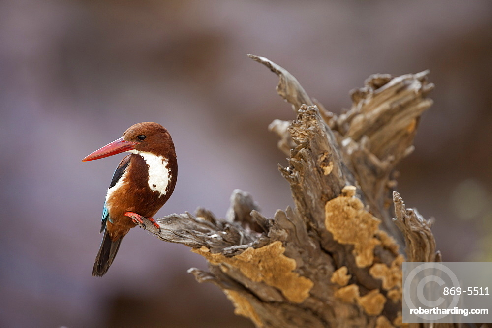 white-breasted kingfisher kingfisher sits on dead tree Ranthambore National Park Rajasthan India Asia (Halcyon smyrnensis)