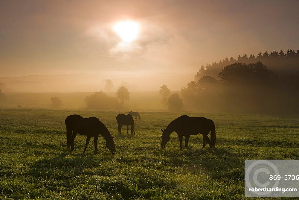 horse three horses in withdrawing fog at sunrise on pasture Saxony Germany Europe (Equus przewalskii caballus)