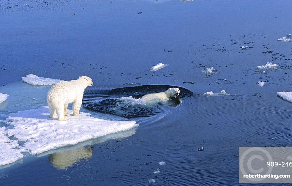 Two Polar Bears (Ursus maritimus) getting ready for swimming in the sea .  Northwest of Nordaustlandet, Svalbard Archipelago, High Norwegian Arctic