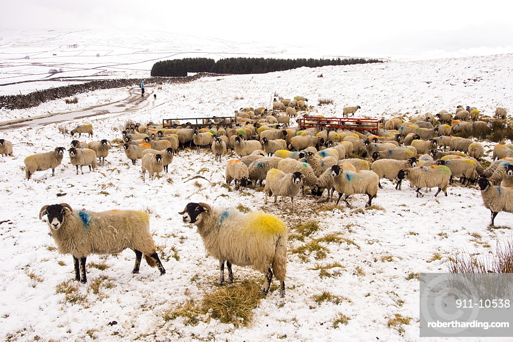 Sheep feeding on Hay on the moors above Settle in the Yorkshire Dales National Park, UK.