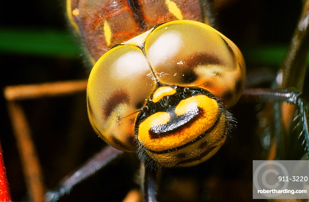 A close up of a female dragon fly laying eggs, United Kingdom, Europe