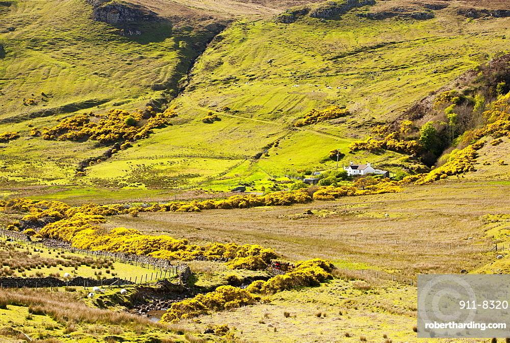 Gorse in flower, Talisker, Isle of Skye, Scotland, United Kingdom, Europe