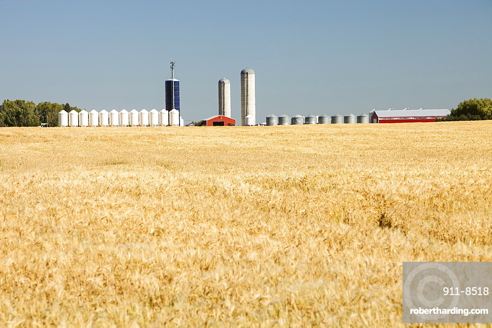 A field of wheat with grain silos in the background, Alberta, Canada, North America