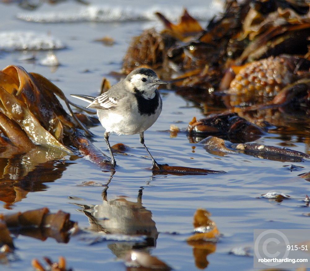 Pied wagtail, Motacilla alba, feeding on shoreline     (rr)