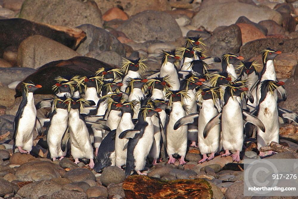 Northern Rockhopper Penguins, Eudyptes moseleyi,   Stock Photo