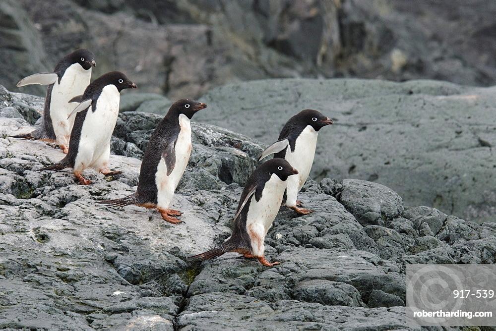 Adelie Penguin (Pygoscelis adeliae) group entering water, Yalour Islands, Antarctic Peninsula, Antarctica, Polar Regions