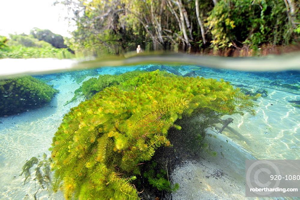 Split image of the lush vegetation above and below water, Sucuri River, Bonito, Mato Grosso do Sul, Brazil, South America