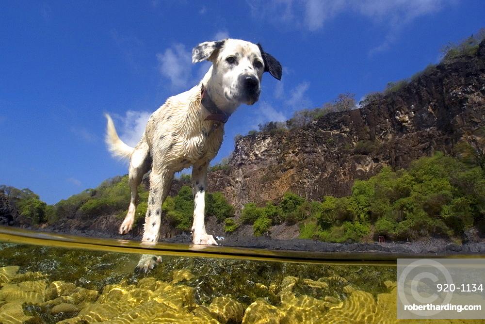 Dog at a tide pool on Porco's Bay, Fernando de Noronha, UNESCO World Heritage Site, Brazil, South America