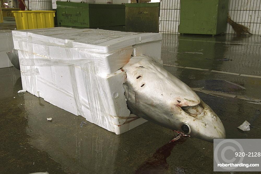 Thresher shark (Alopias sp.) packed for shipment, Nanfang'ao fish market, Suao, Taipei, Taiwan, Asia