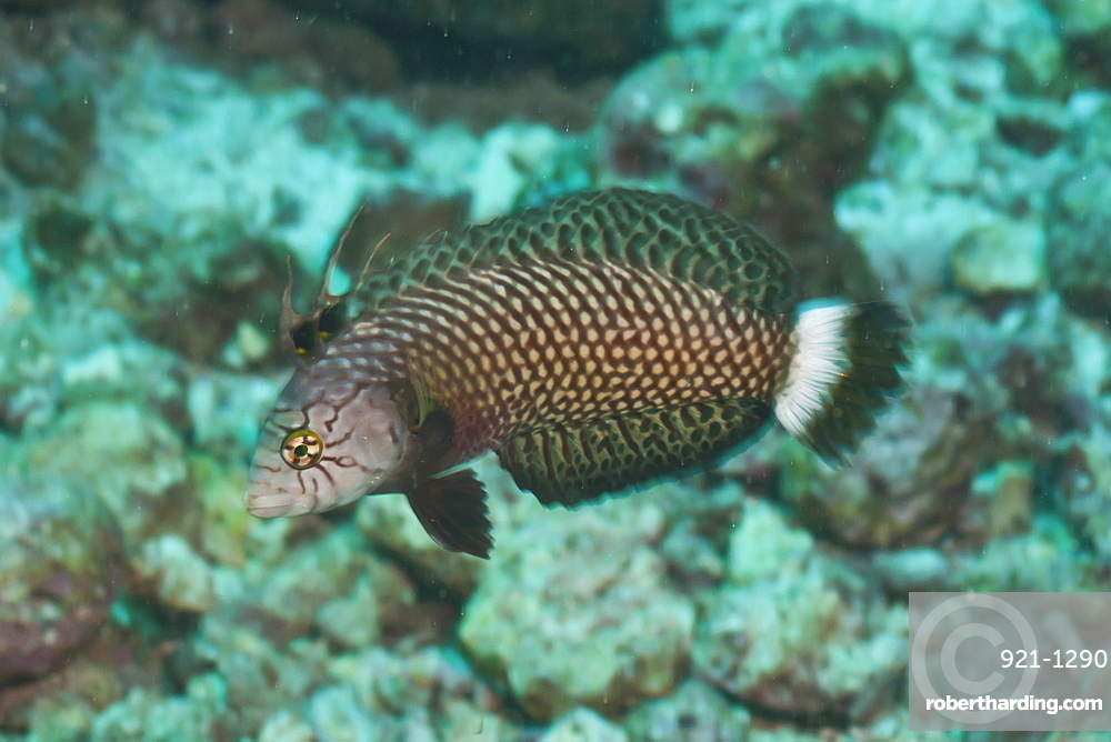 Rockmover Wrasse (Novaculichthys taeniourus), Southern Thailand, Andaman Sea, Indian Ocean, Asia