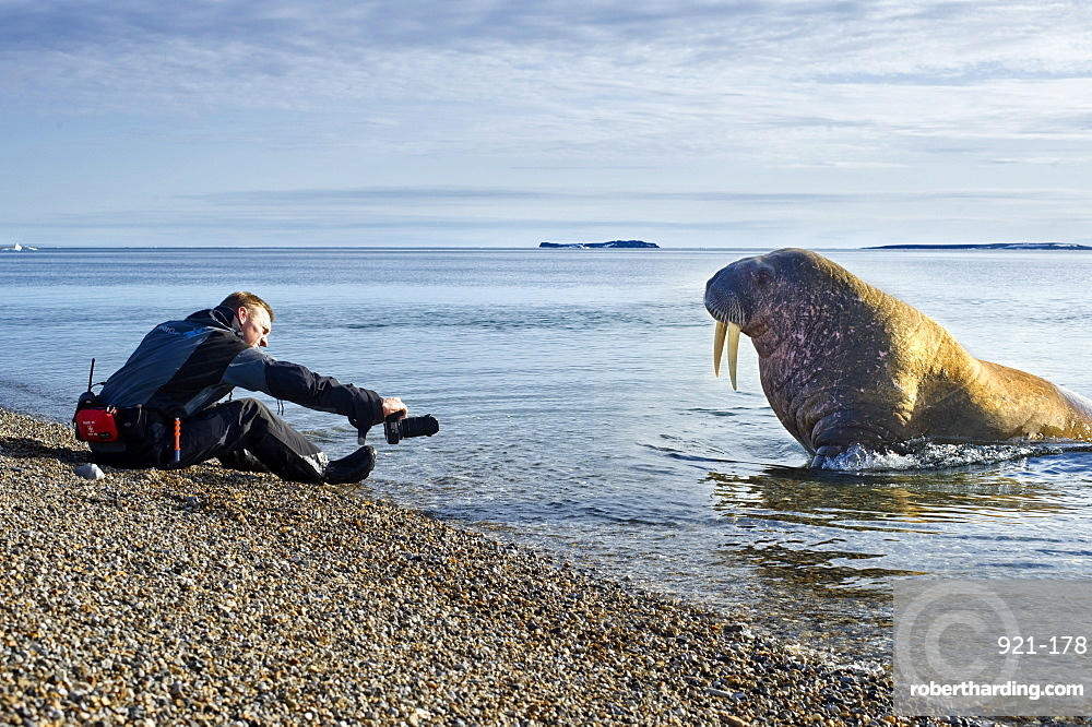 Walrus (Odobenus rosmarus), Rookery, Haul Out, Colony, man, photography. Longyearbyen, Svalbard, Norway