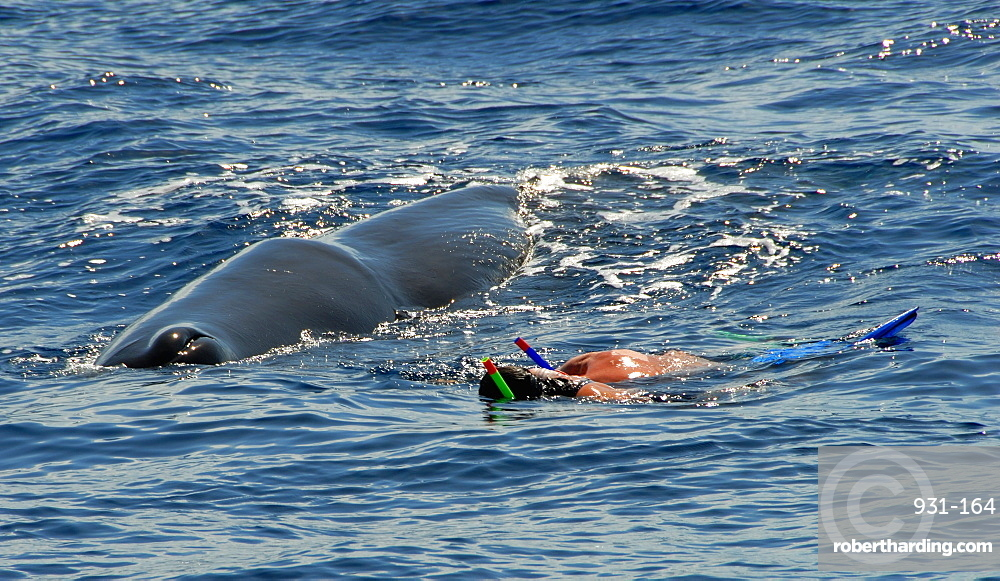 Sperm whale. (Physeter macrocephalus). A very quiet sperm whale watches two swimmers watching it. Caribbean.
