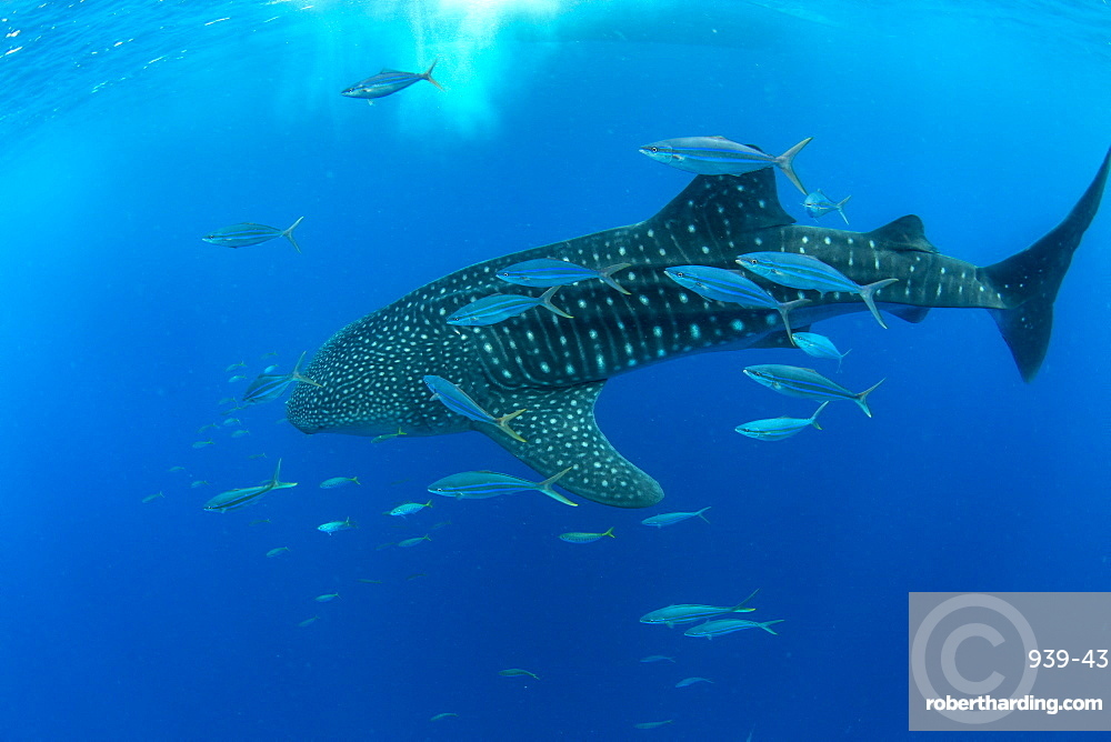 Whale shark (Rhincodon typus) with rainbow runner, Honda Bay, Palawan, The Philippines, Southeast Asia, Asia