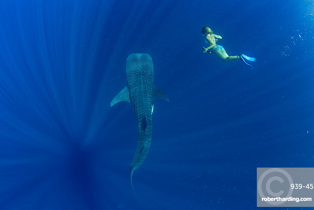 Tourist swimming with a whale shark (Rhincodon typus) in Honda Bay, Palawan, The Philippines, Southeast Asia, Asia