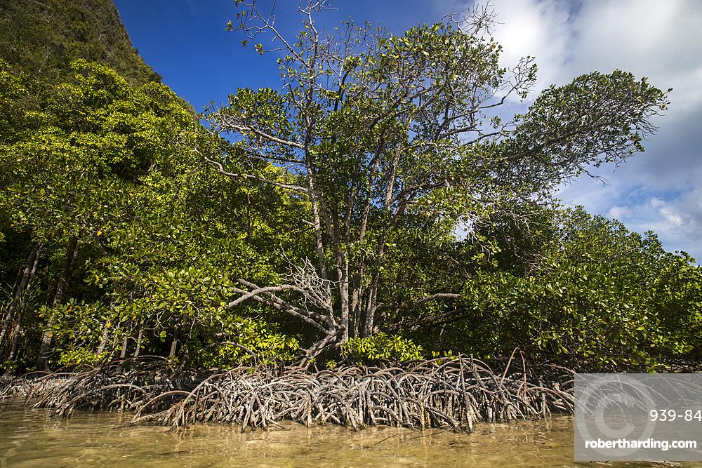 Mangroves in Wayag Island, Raja Ampat, West Papua, Indonesia, Southeast Asia, Asia