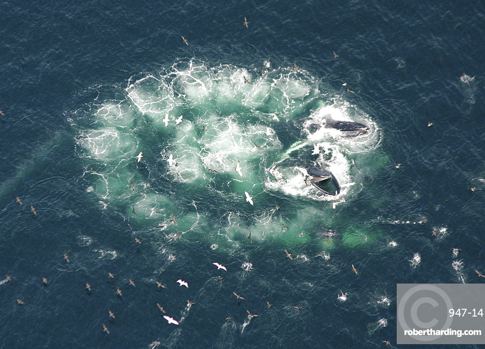 Humpback Whales  (Megaptera novaeangliae). Aerial view of adults co-operatively bubble-net feeding. Gulf of Maine, USA    (rr)