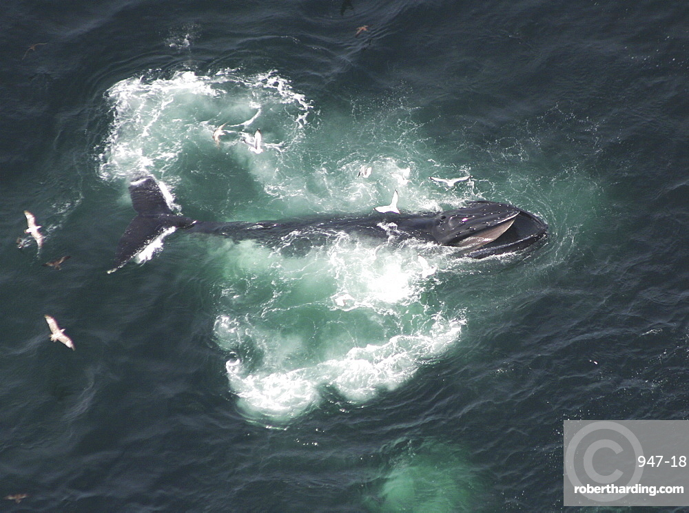 Aerial view of Humpback Whale (Megaptera novaeangliae). Gulf of Maine, USA    (rr)