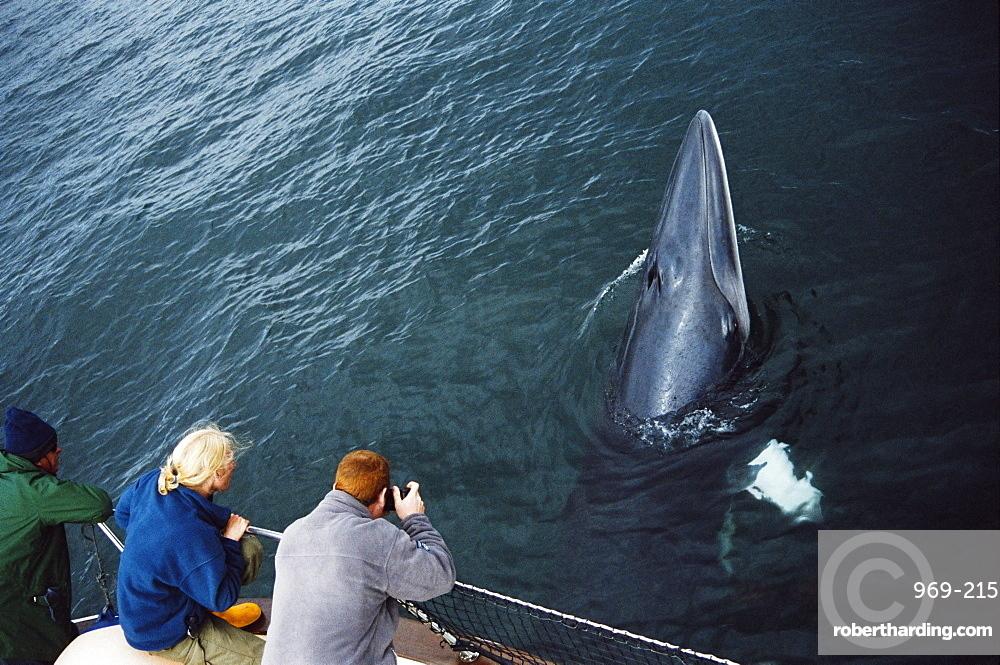 Whale watchers eye to eye with an inquistive Minke whale (Balaenoptera acutorostrata) associating with their boat. Hebrides, Scotland