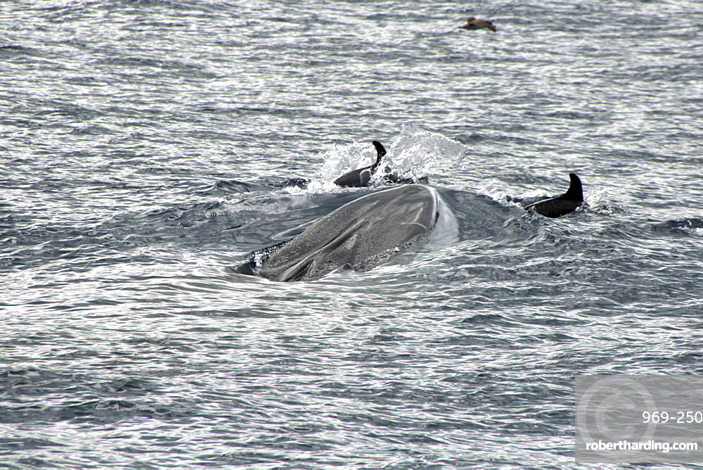 Fin Whale Surfacing with bowriding dolphins