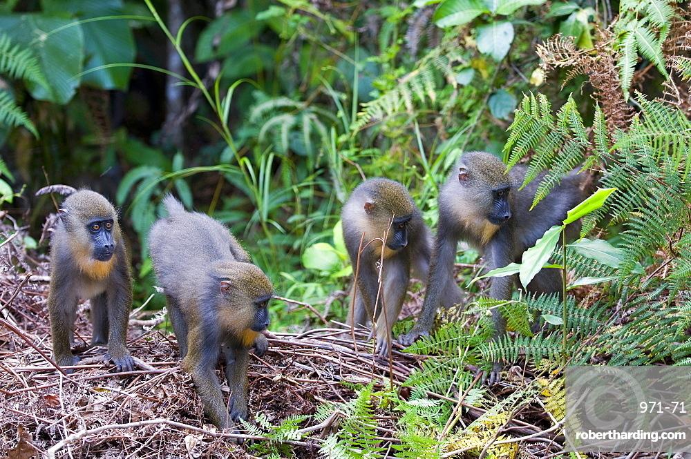 Juvenile mandrills (Mandrill sphinx), Parc de la Lekedi, Haut-Ogooue, Gabon, Africa