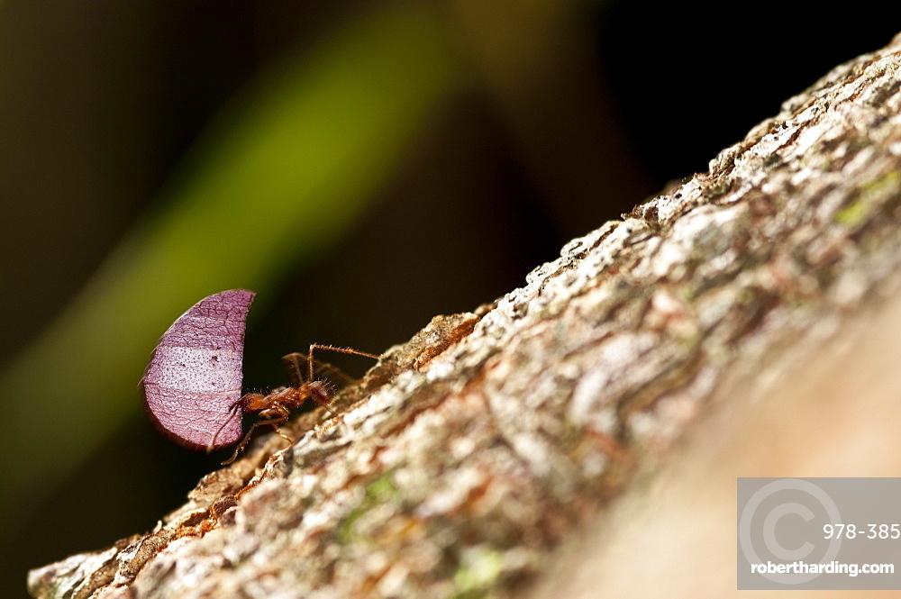 Leaf Cutter Ants, Ecuador.