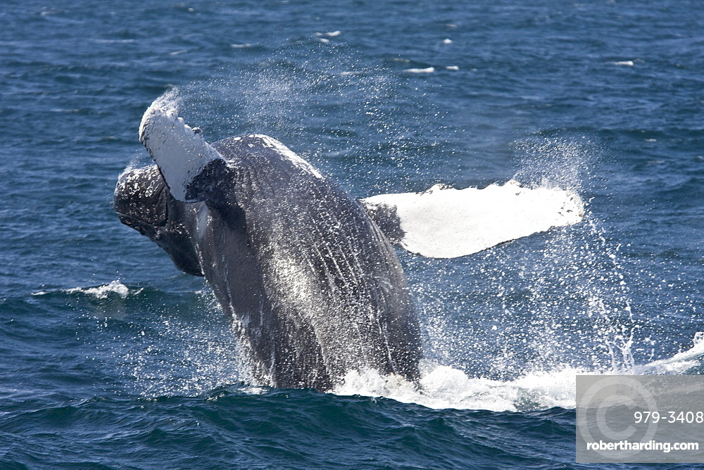 Two adult humpback whales (Megaptera novaeangliae) off Isla Magdalena in the Pacific Ocean, Baja California Sur, Mexico.