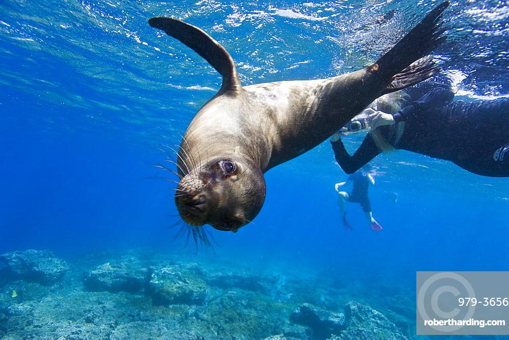 Galapagos sea lion (Zalophus wollebaeki) underwater with snorkelers at Champion Islet near Floreana Island in the Galapagos Island Archipeligo, Ecuador. Pacific Ocean
