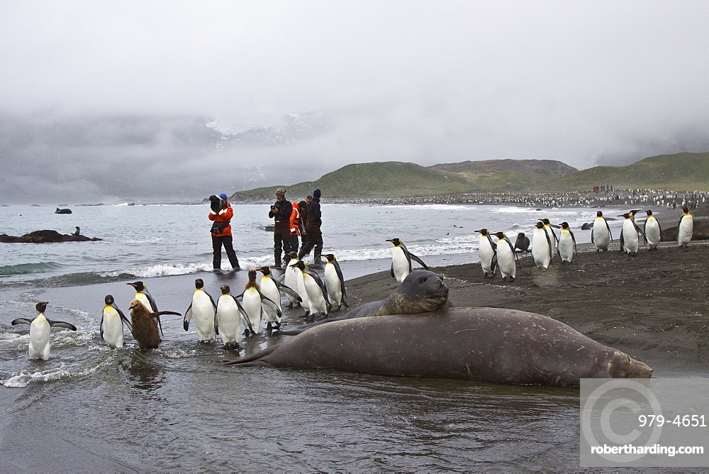 Young southern elephant seals (Mirounga leonina) with onlookers on the beach at South Georgia in the Southern Ocean