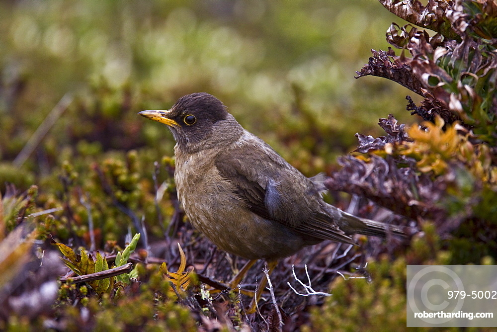 The Falkland Thrush (Turdus Falcklandii), medium sized thrush from southern South America